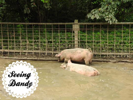 susan park pigs