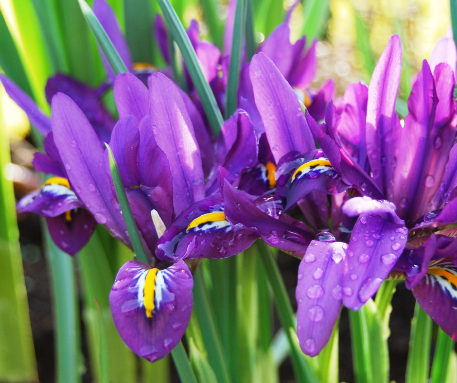 Beautiful purple iris with water drops.