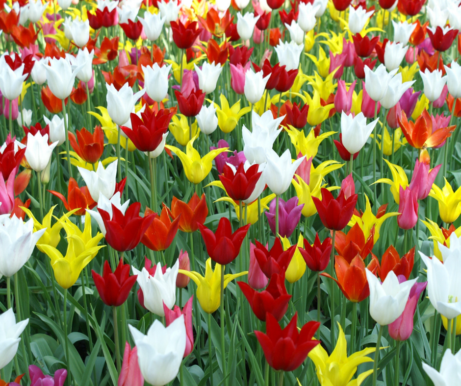Tulips for spring in red, yellow, white and pink.
