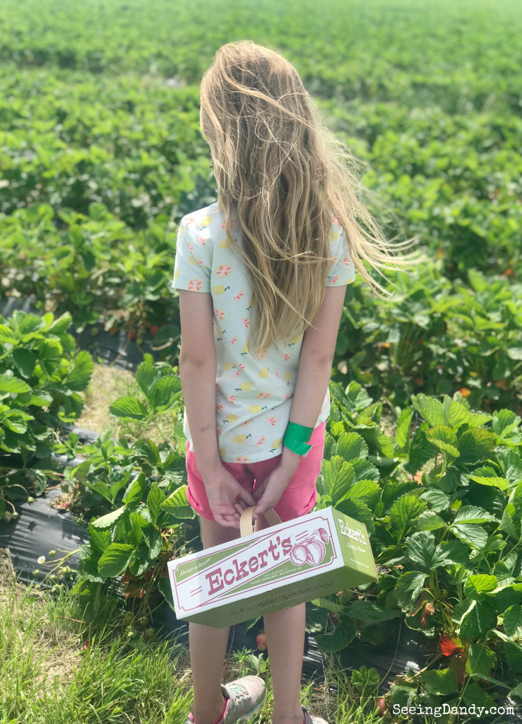 Girl picking strawberries at Eckert's.