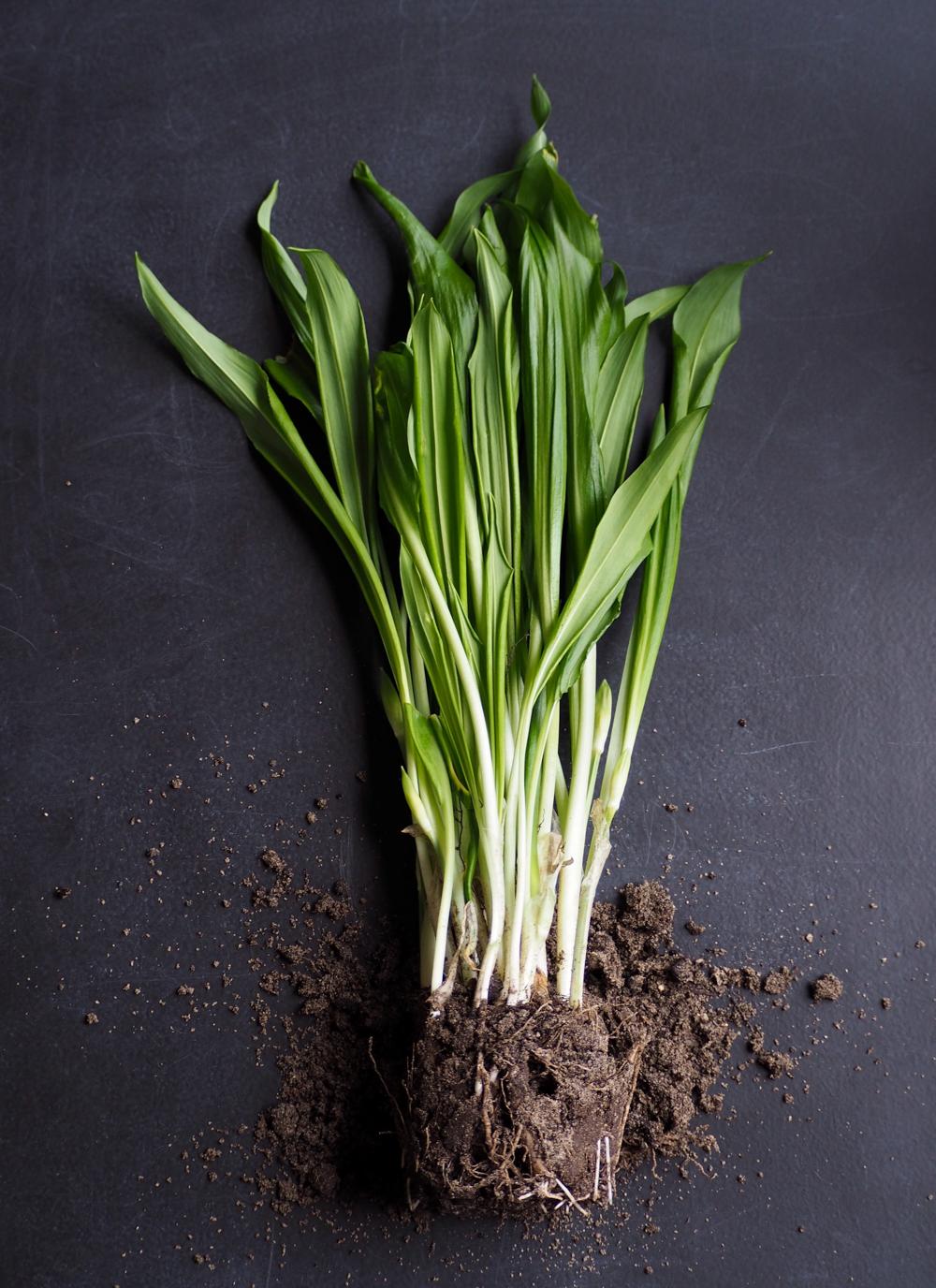 Easy to grow garlic greens