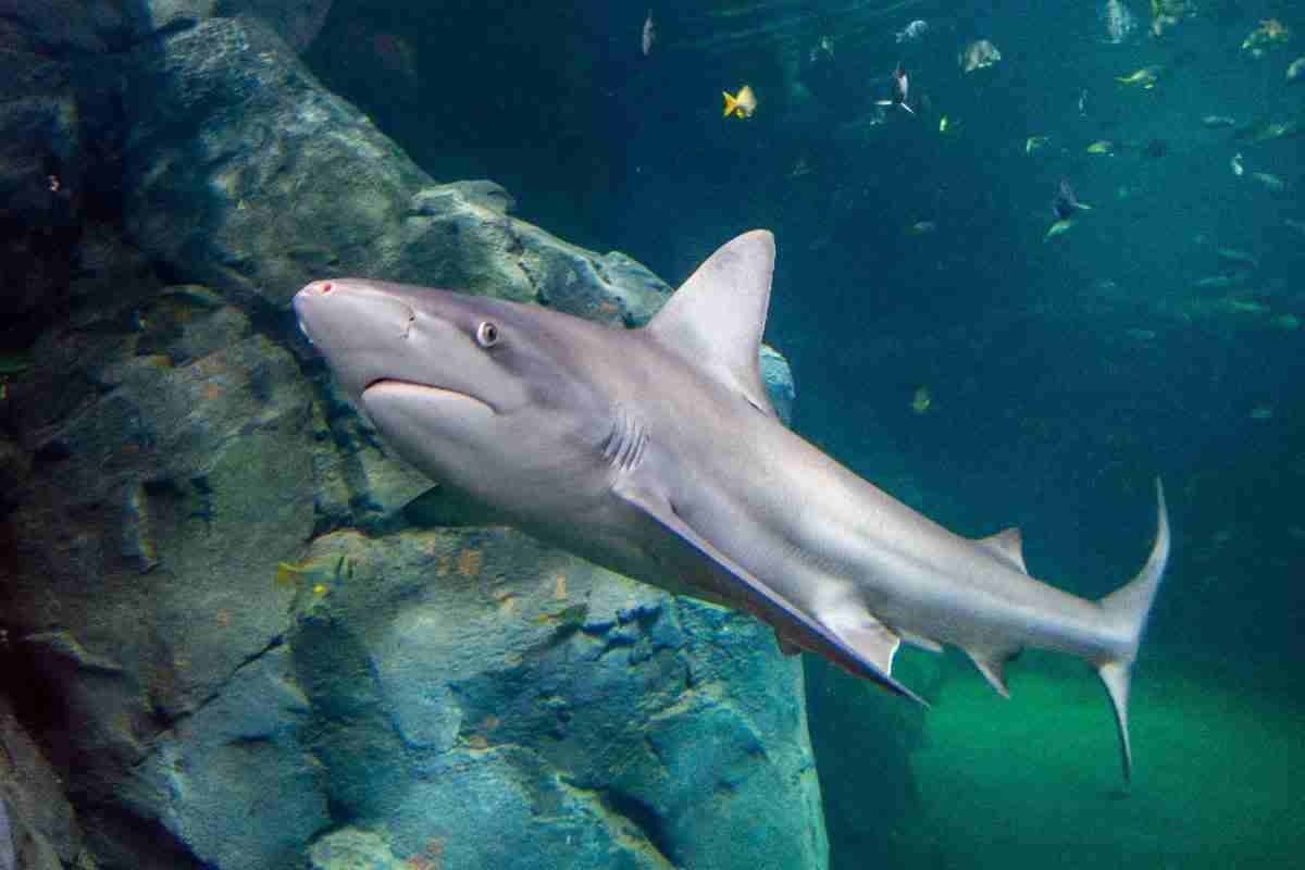 st louis aquarium, shark, fish, yellow fish, shark canyon, under water, diving