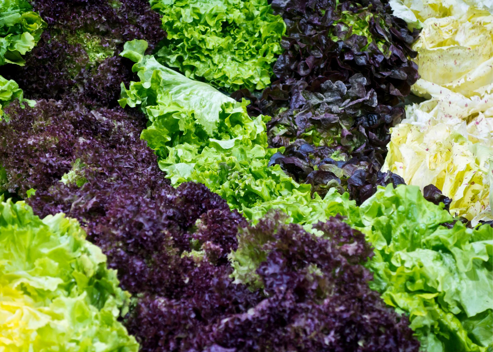 artisan lettuce, purple lettuce, green leaf lettuce, romaine