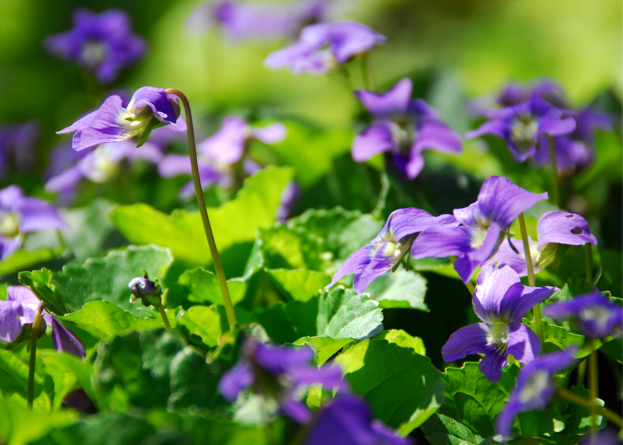 patch of wild violets